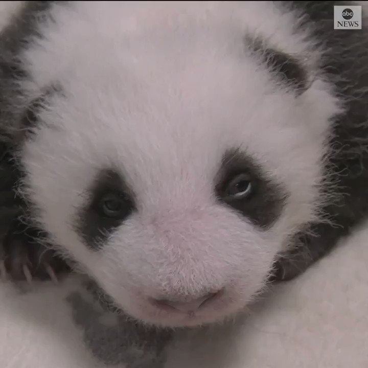 There's no cuter kick off the weekend than watching these twin panda cubs–who opened their eyes for the first time at Zoo Berlin. https://abcn.ws/31txlqV