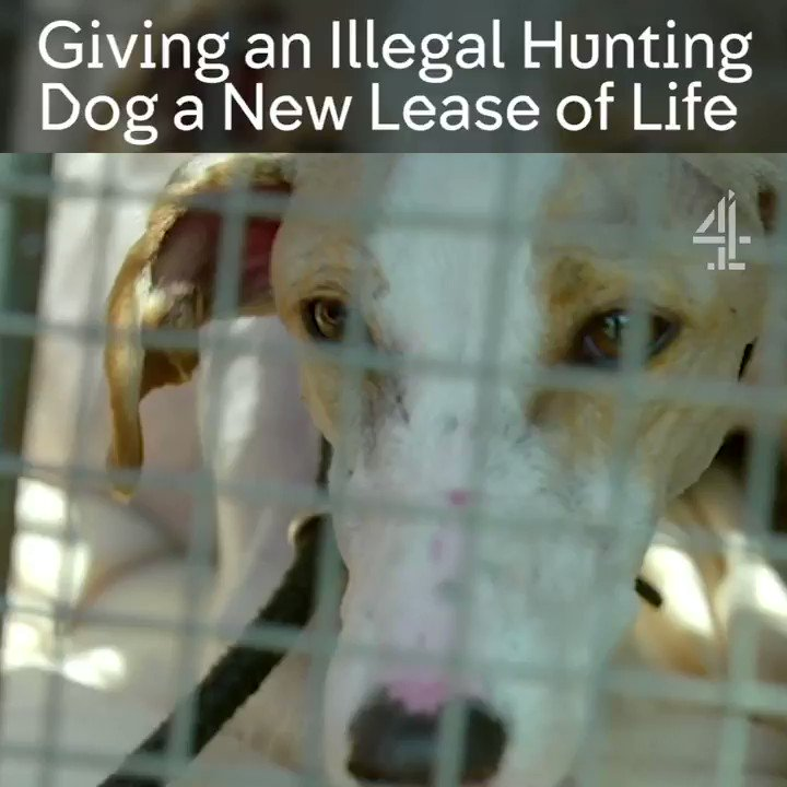 After being rescued from hare-coursers, are things finally looking up for lurcher Harmony? #TheDogHouse @Wood_Green