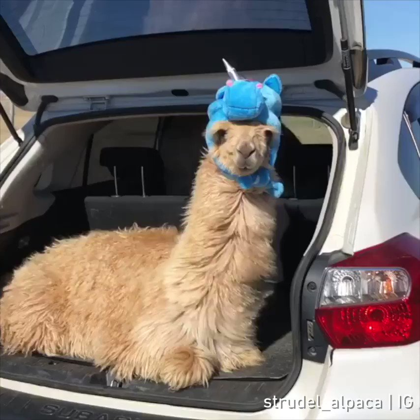🦄🦄🦄  📹 strudel_alpaca   IG