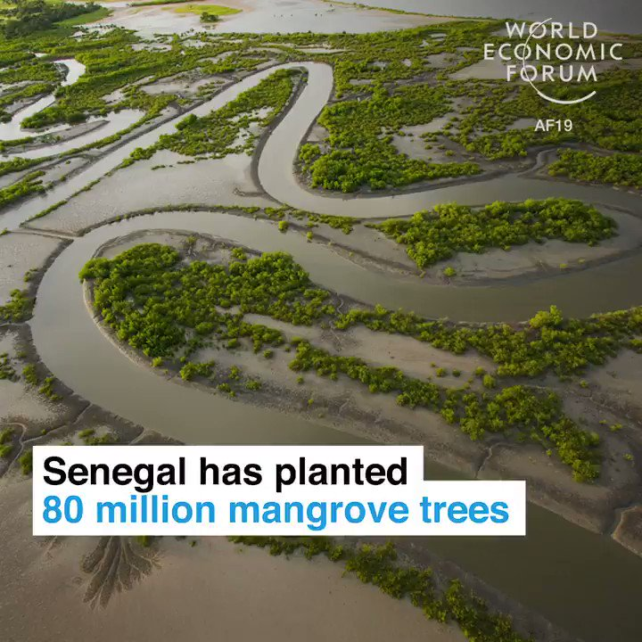 Wow!Senegal 🇸🇳 has planted 80 million mangrove trees. To@protect against climate change and take care of nature. Bravo Senegal, great leadership!