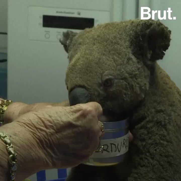 Des centaines de koalas sont morts dans les incendies qui frappent actuellement lAustralie :