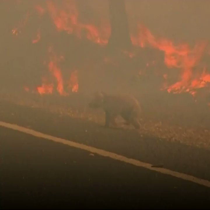 A woman rescued a badly burnt and wailing koala from an Australian bushfire on Tuesday.  The koala was spotted crossing a road amongst the flames near Long Flat in New South Wales, on the eastern side of Australia. RT @NBCNews  #AustralianBushfires