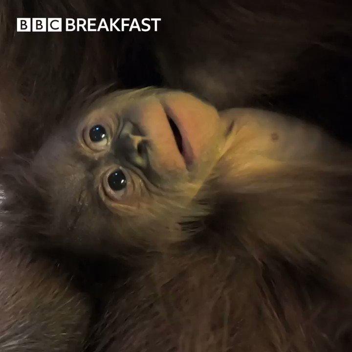 💕 An endangered Sumatran orangutan has been born at @chesterzoo! 😍
