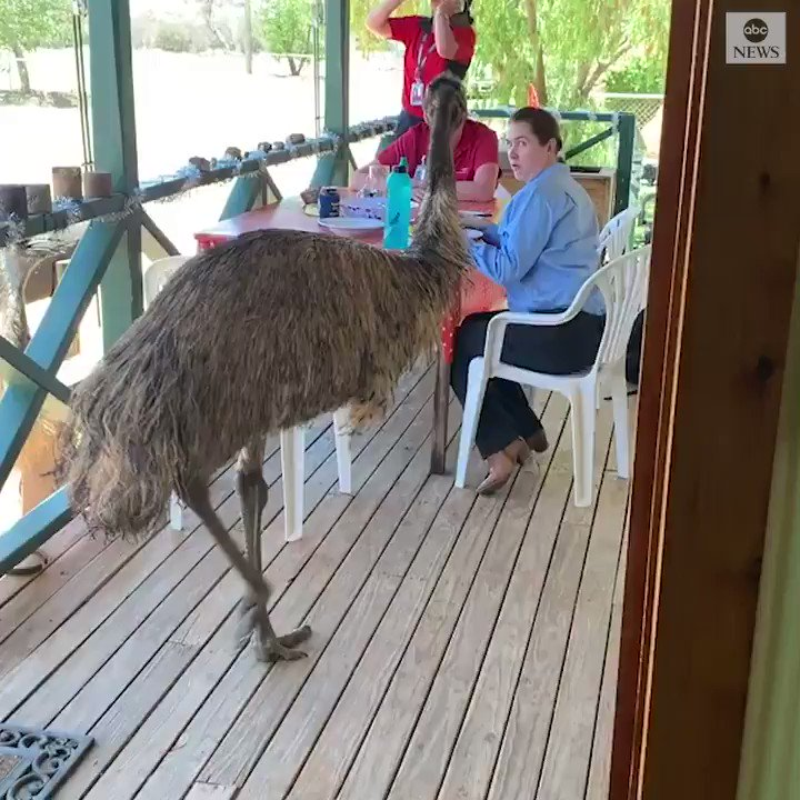 HELP YOURSELF: An inconsiderate emu crashed a Royal Flying Doctor Service of Australias dinner, helping itself to some food–literally off of one of the doctors plates. abcn.ws/2P0FIY0