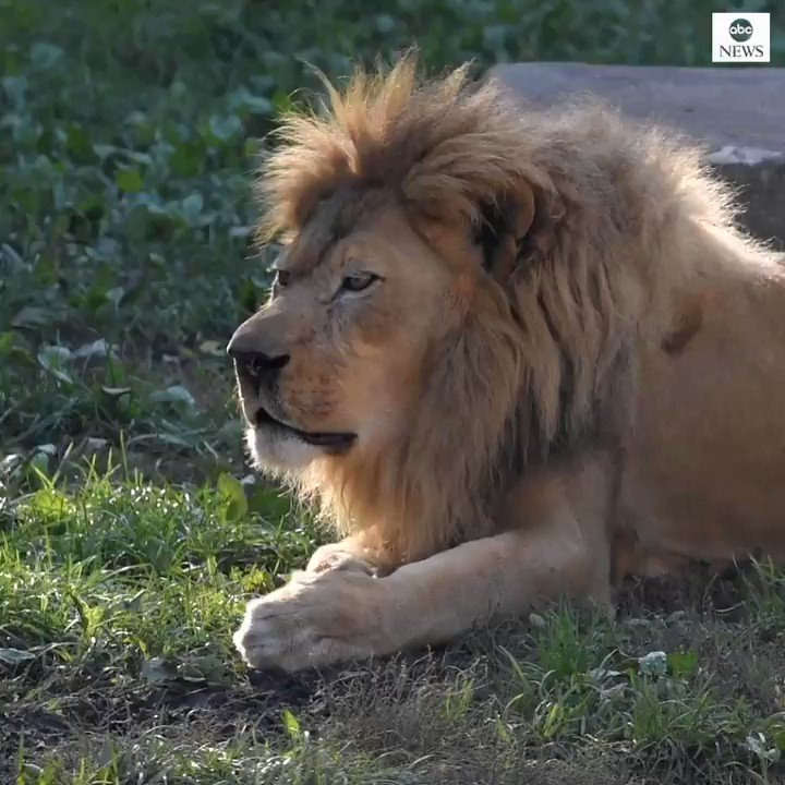 BLESS YOU: This lion at Milwaukee County Zoo was caught on camera trying its best to hold back a huge sneeze before letting it out in majestic fashion. abcn.ws/2sQZnAS