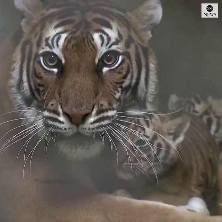 Baby Bengal tigers have some cuddle time with their mother at Shanghai zoo. abcn.ws/2Prur1N