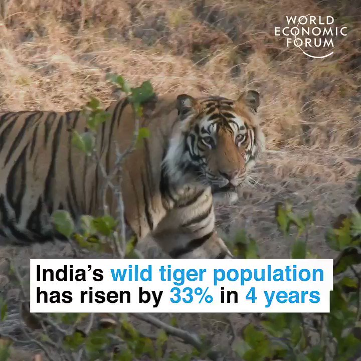 #InternationalTigerDay: This is how India managed to raise its endangered wild tiger population by over 30% in four years.