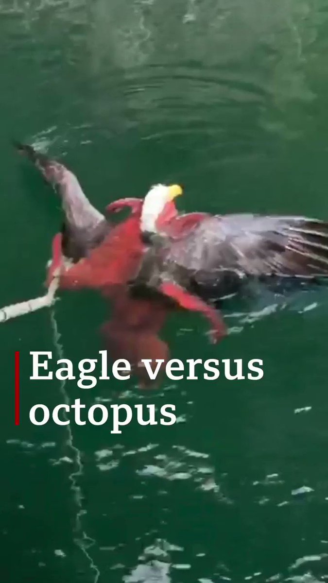 Eagle attacks octopus, probably regrets it   [Tap to expand]