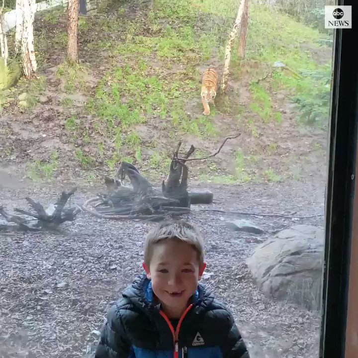 Tiger 'Attacks' Young Boy At Zoo, Twitter Followers Roar