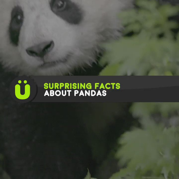 Replying to @UberFacts: Fascinating facts about pandas 🐼