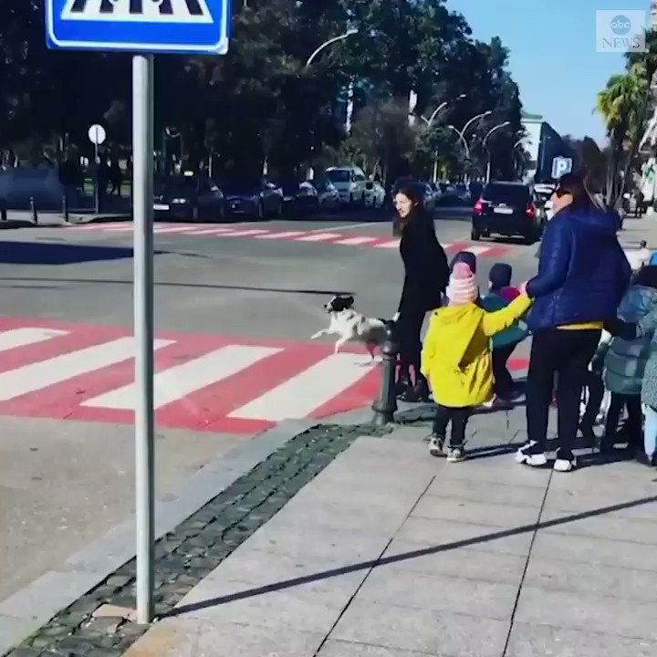 CROSSING GUARD DOG: This very considerate stray pup has become an internet sensation after it helped a group of schoolchildren get across a busy street in Eastern Europe. https://abcn.ws/2NGQWje