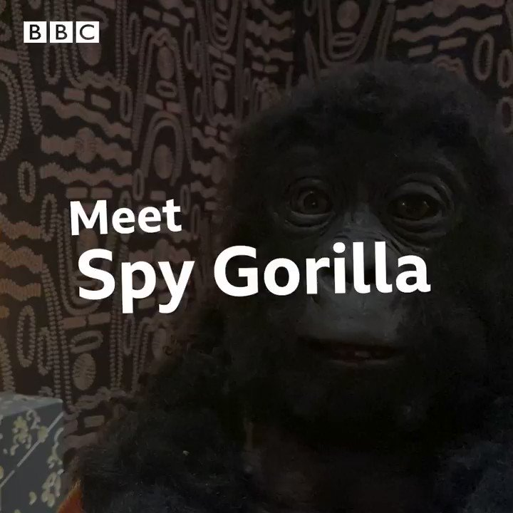 This is how the adorable Spy Gorilla from #SpyInTheWild works!