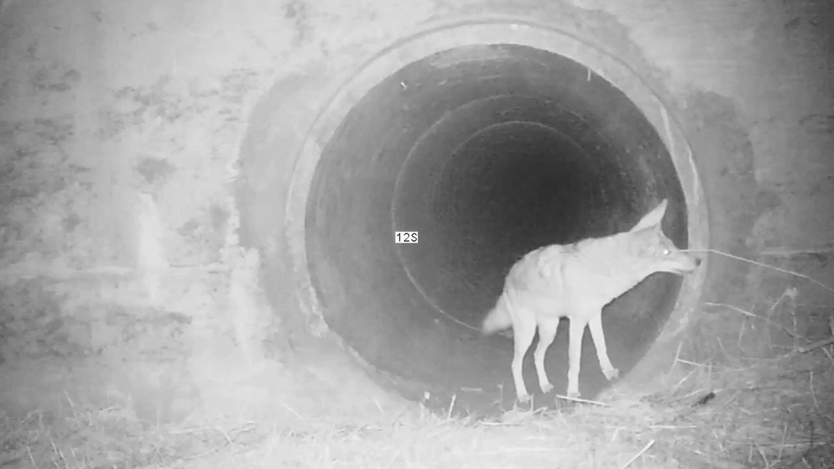 今年2月にカリフォルニアで撮影された貴重な映像。コヨーテが小さく誘うようにジャンプすると、アナグマがのそのそと現れ、排水溝の奥へと消えていきます。コヨーテとアナグマが共同で狩りを行うことは以前から知られていましたが、彼らの絆が感じられる素晴らしい映像です。
