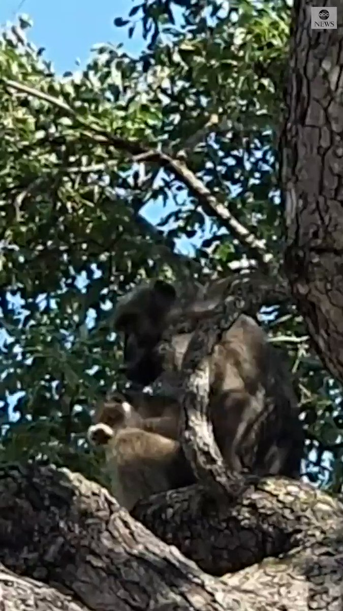 'UNUSUAL SIGHTING': Male baboon spotted grooming a lion cub in South Africa's Kruger National Park. https://abcn.ws/31y72BC