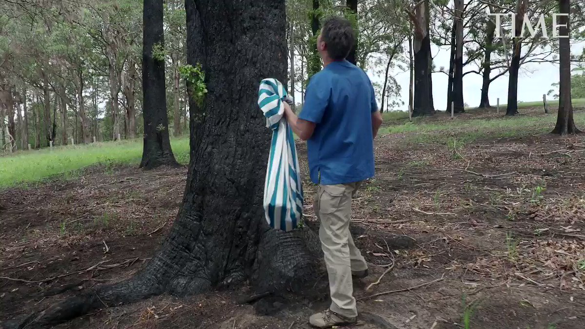 Watch a koala return to the wild after being injured in the Australian bushfires ti.me/37z0MLl
