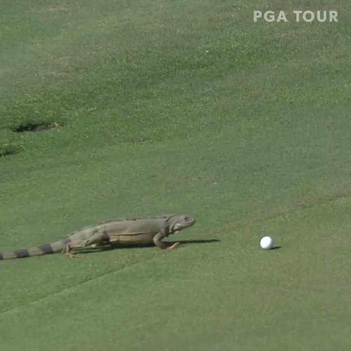 Watch out for some unique hazards as golf returns to @PuertoRicoOpen this week. 😳🇵🇷 #TOURVault