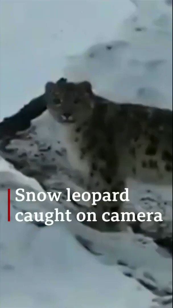 """A rare snow leopard has been spotted in the HimalayasThe iconic big cats' conservation status improved from """"endangered"""" to """"vulnerable"""" in 2017http://bbc.in/329mjJ8"""