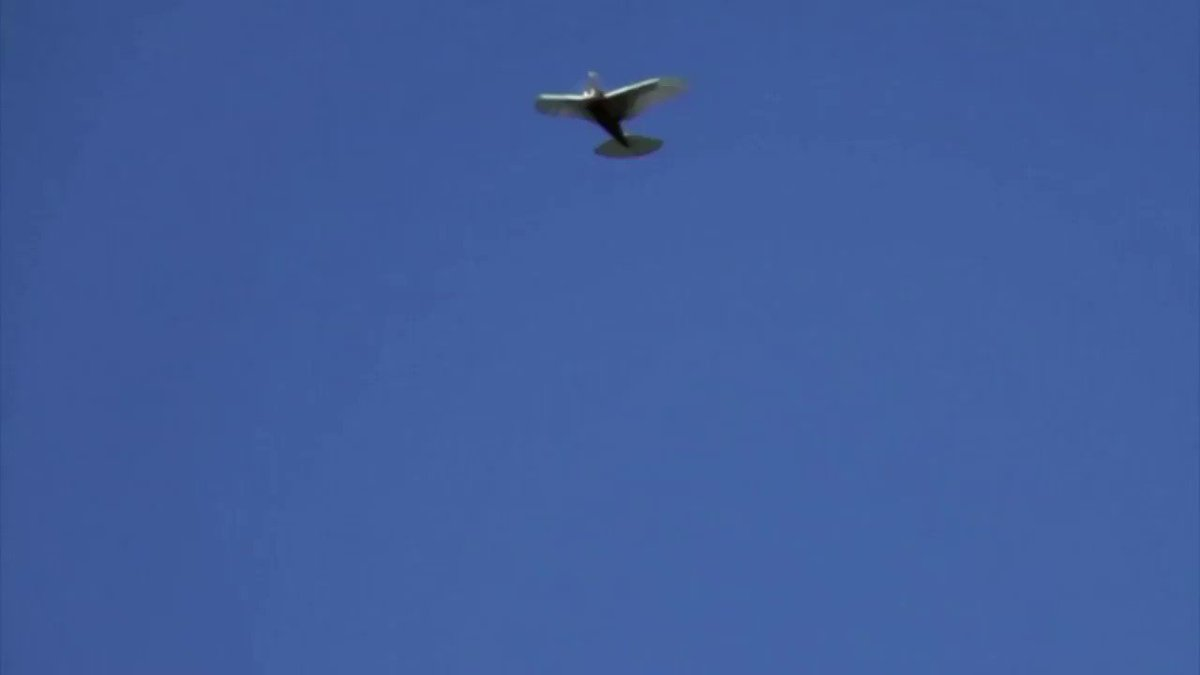 This drone mimics the way pigeons fly and could inspire the next generation of flying robots