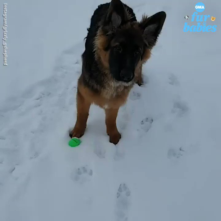 Grizzly, a 1-year-old German shepherd, has a great time playing in the snow. abcn.ws/2VrFxsd