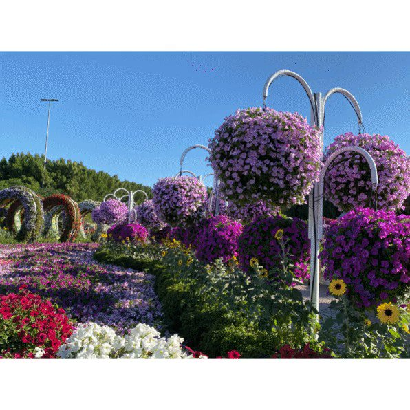 💕💕 🇦🇪🇦🇪 💐💐💐 We loved the Dubai Miracle Garden #Dubai #UAE  @MiracleGardenAE #ILoveDMG #dubaimiraclegarden #miraclegardendubai  #miraclegarden #flowergarden #flowercastle  Story at..   4:57min #YouTube #Video...   💐💐💐 🇦🇪🇦🇪 💕💕