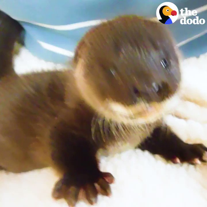 The moment this fuzzy baby otter realizes he can swim 💙 https://t.co/Arr6ya4Idn