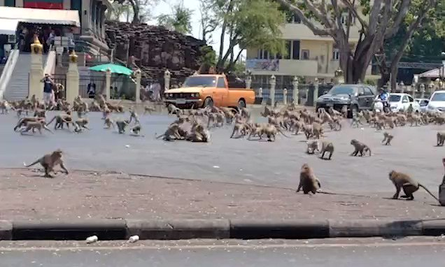 Hundreds of hungry monkeys swarm across Thai street as 'rival gangs' fight over food after tourists who normally feed them stay away because of coronavirus https://t.co/lQZ0sOzwDF https://t.co/8TgrCTBrQ8