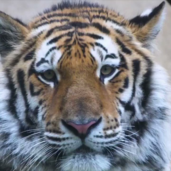 Replying to @UberFacts: Adorably melancholy facts about animals 🐯