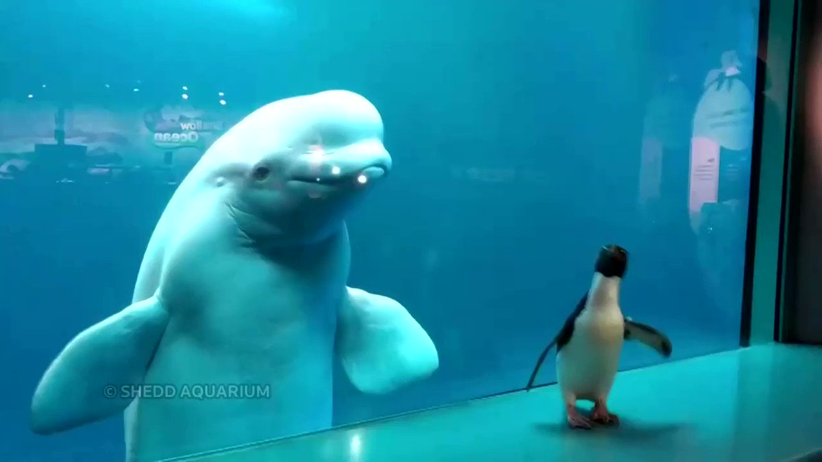 A penguin was out and about visiting his neighbors, beluga whales, at Chicago's Shedd Aquarium https://t.co/4ak3aJsoLb