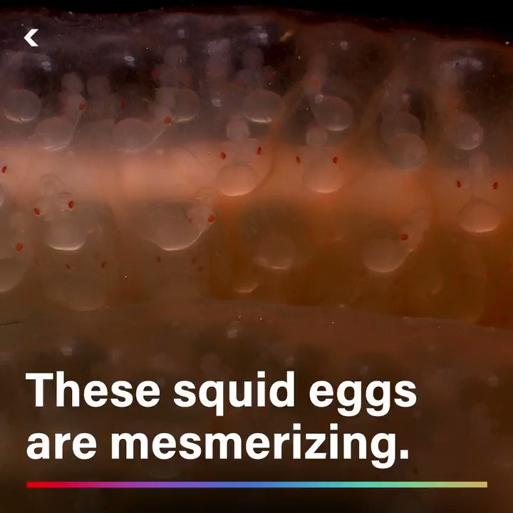 These squids eggs look like masses of sea anemones