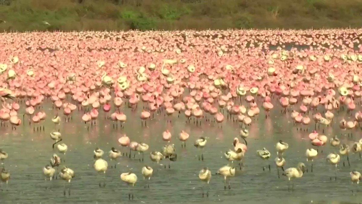 ICYMI: A sea of flamingos has been flocking a lake in Mumbai https://t.co/WPDmZUhc4C