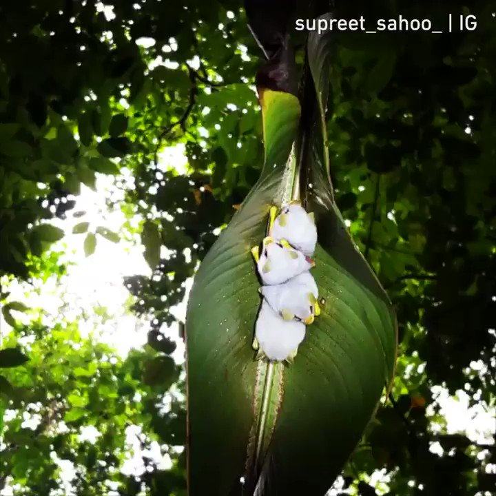 Honduran white bats in their tent made out of leaves.  📹supreet_sahoo_ | IG https://t.co/yaYYCDXzEd