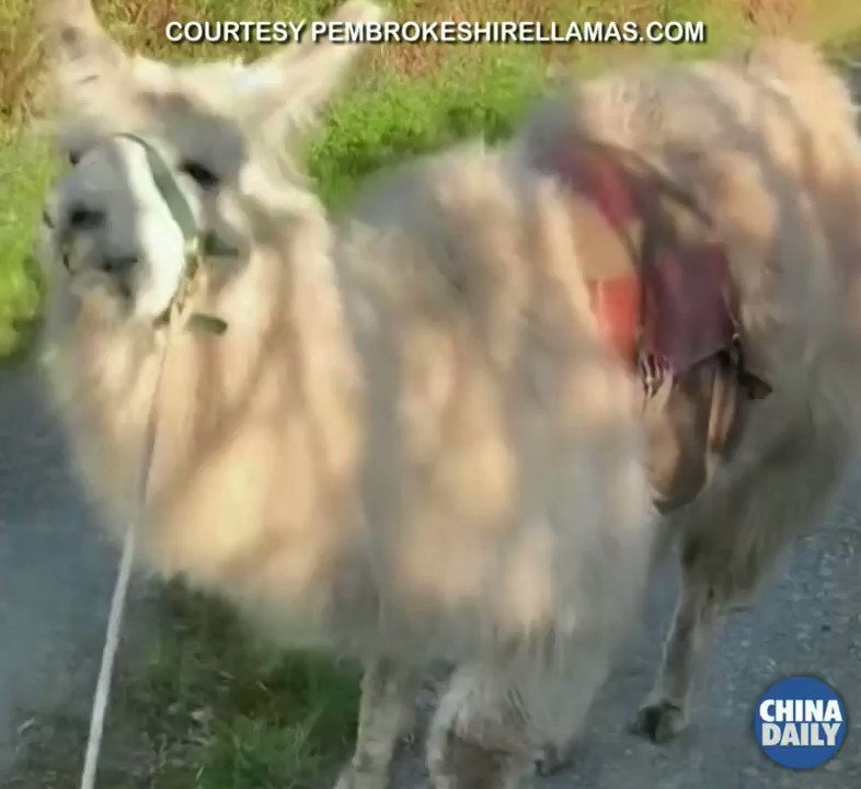 Max the llama has been making food deliveries to remote properties in the Welsh Valley during the COVID-19 lockdown. #llama pic.twitter.com/qgwCSBTbPH