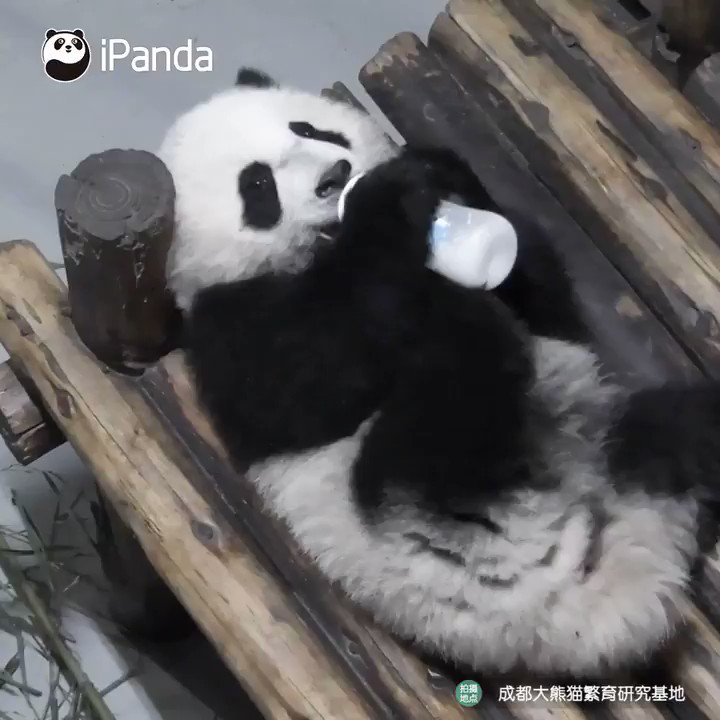 You raise it up, so you can sip the tasty milk; you raise it up, to give yourself a toast; your legs are strong, so bottle can stand on cute paws; you raise it up, to finish before you sleep... 萌炸!好像家裡剛學會抱奶瓶的寶寶  #panda #animal #pet #adorable #China #ipanda #cutepic.twitter.com/VABlE0T8z6