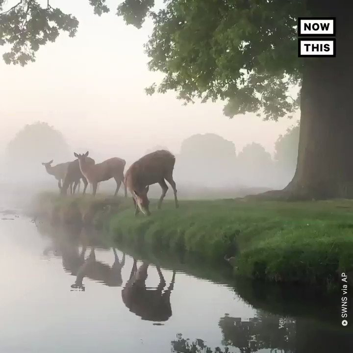 Take a breath and enjoy this group of deer grazing in the London fog 🦌 https://t.co/jbZ2kJZrol
