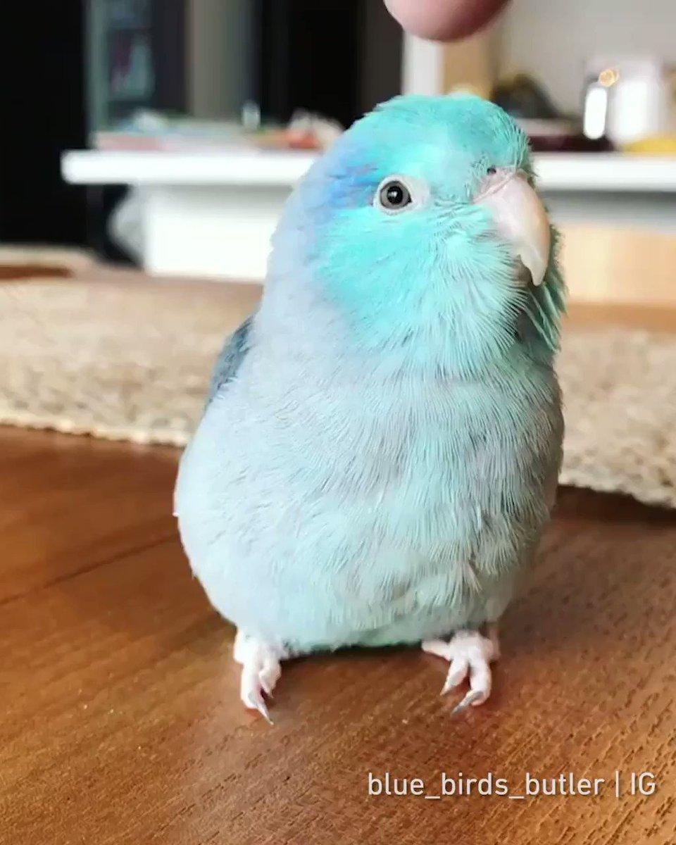 It's a @Twitter-colored bird!  By blue_birds_butler | IG https://t.co/SYeJlbXTZH