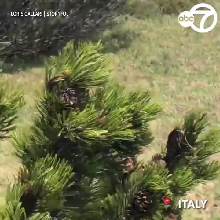 CRAZY VIDEO: 12-year-old keeps calm during close encounter with a bear in the Italian Mountains! 🐻  But as a nail-biting video shows, the boy showed remarkable poise as he slowly retreated. Would you be able to remain calm?