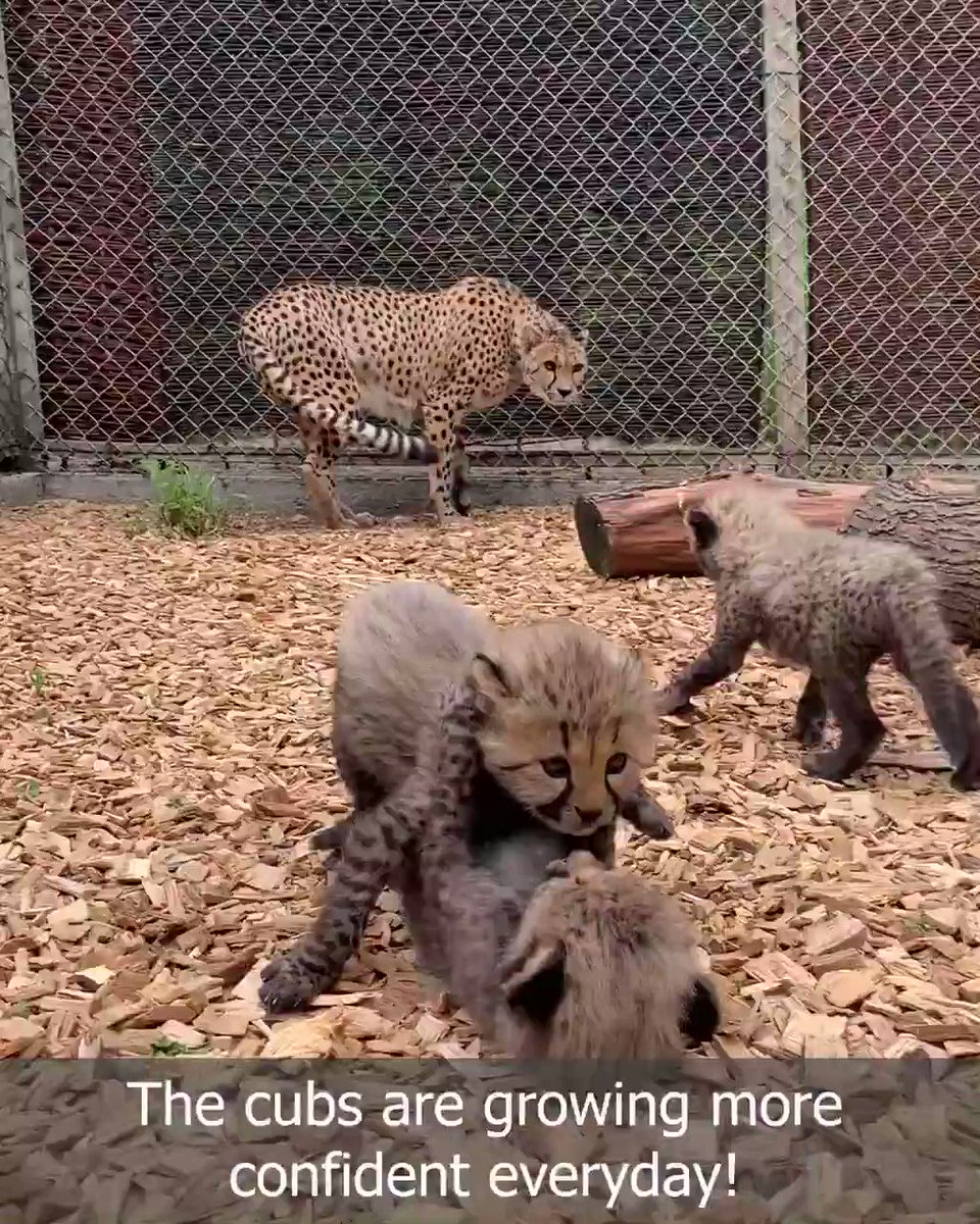 Our Cheetah cubs are growing in confidence and enjoying spending time outside playing during the lovely warm weather! They've even started to take an interest in mum's lunch and have begun to try meat!☀️❤️️ #Bubdate #Caturday #PlayTime #Sunshine