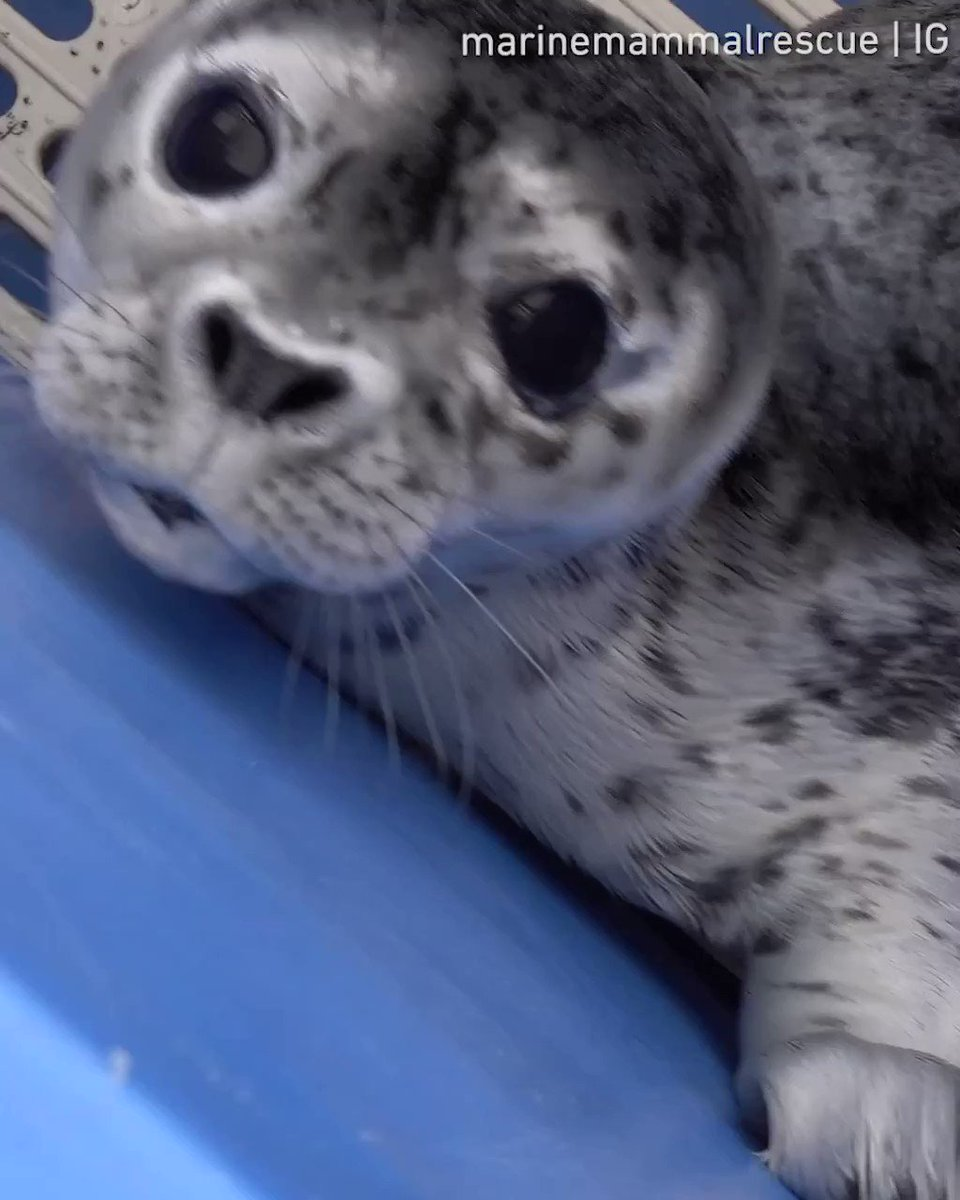 These seals are too cute to be real💙  📹 @MarMamRescue https://t.co/FcfNPvFBgI
