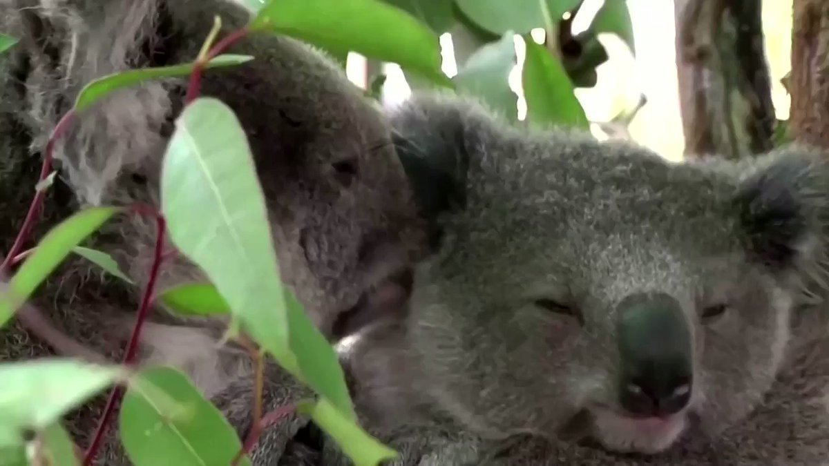 Koalas face extinction in Australia's New South Wales by 2050, according to a parliamentary report https://t.co/H6bDz5MZql https://t.co/6qhLGdrlpP