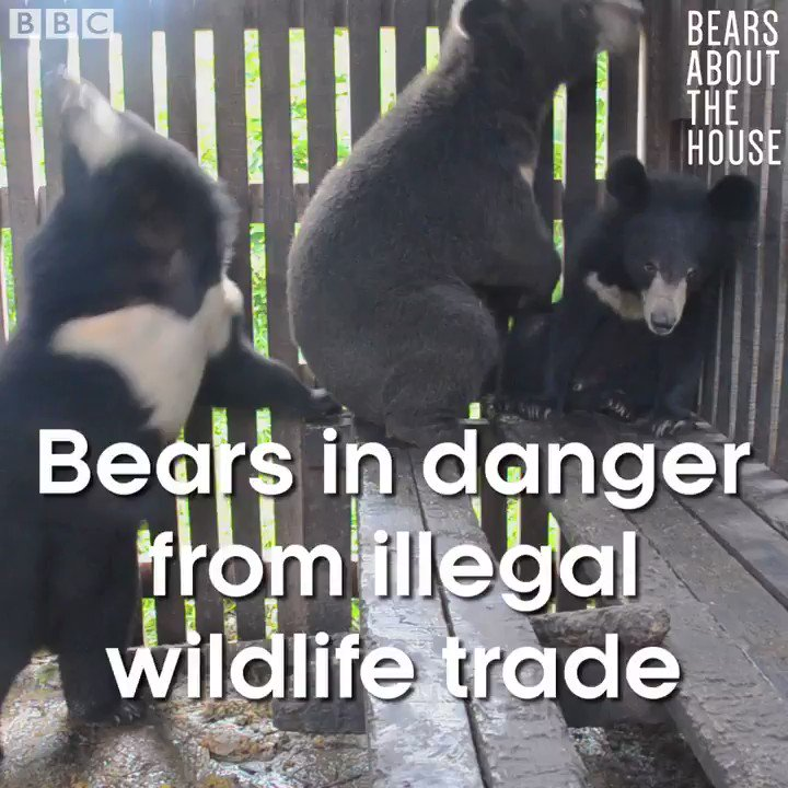 Over 10,000 bears are kept in bear farms across Asia. #BearsAboutTheHouse
