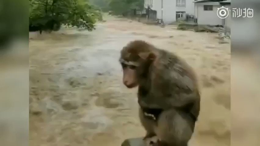 Help! A monkey was spotted on a stone surrounded by flood waters in Wuyi Mountain, E China's Fujian Province on Thu morning. Large parts of southern China, including Wuyi Mountain, have been hit by heavy rain, with local scenic spots closed.