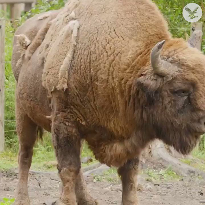 Bison are returning to Kent after thousands of years