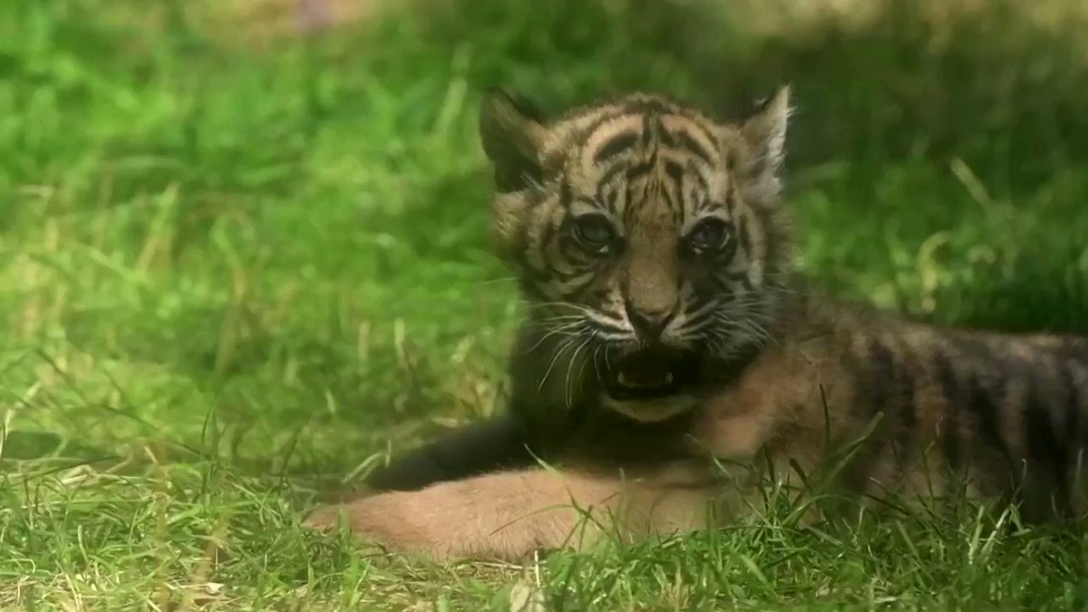 WATCH: The Wroclaw Zoo welcomed a rare Sumatran tiger cub, the first to have been born in Poland in eight years https://t.co/9IiSL3twna