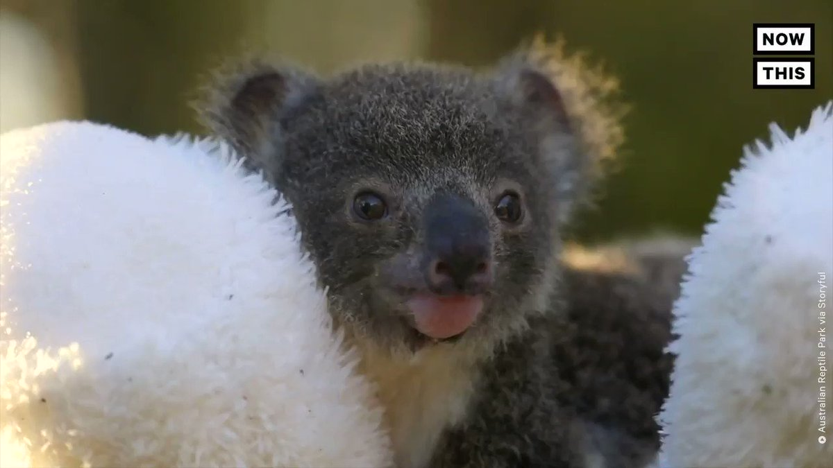 Some good news: Koalas are having a successful breeding season at this Australian wildlife park after the devastating bushfires that began at the end of 2019 and threatened much of their population https://t.co/zGgNsIBpr3