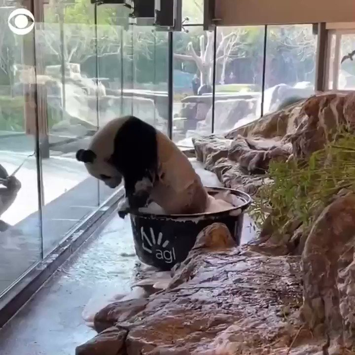 BATH TIME: This adorable giant panda had a ball splashing around in a bubble bath at a zoo in Australia. 🐼 🛁
