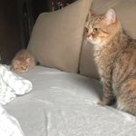 子猫にちょっかい出されても、冷静な態度で臨む母親猫WWW