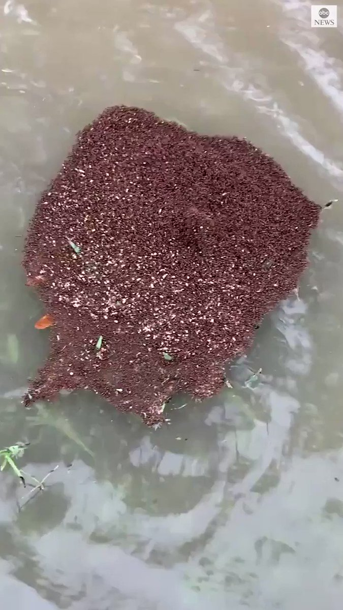 CREEPY FLOATIES: A city in Texas is warning residents to avoid walking in floodwaters, because of the dangers of floating piles of ants. https://t.co/9U9ZMRVpph https://t.co/D8PaOhFeo1