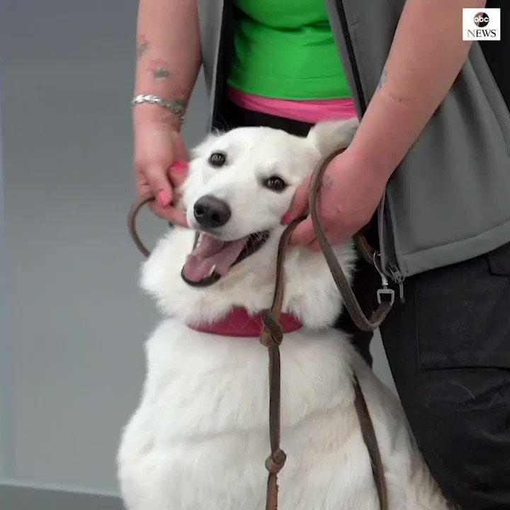 Image for the Tweet beginning: Finland has deployed coronavirus-sniffing dogs