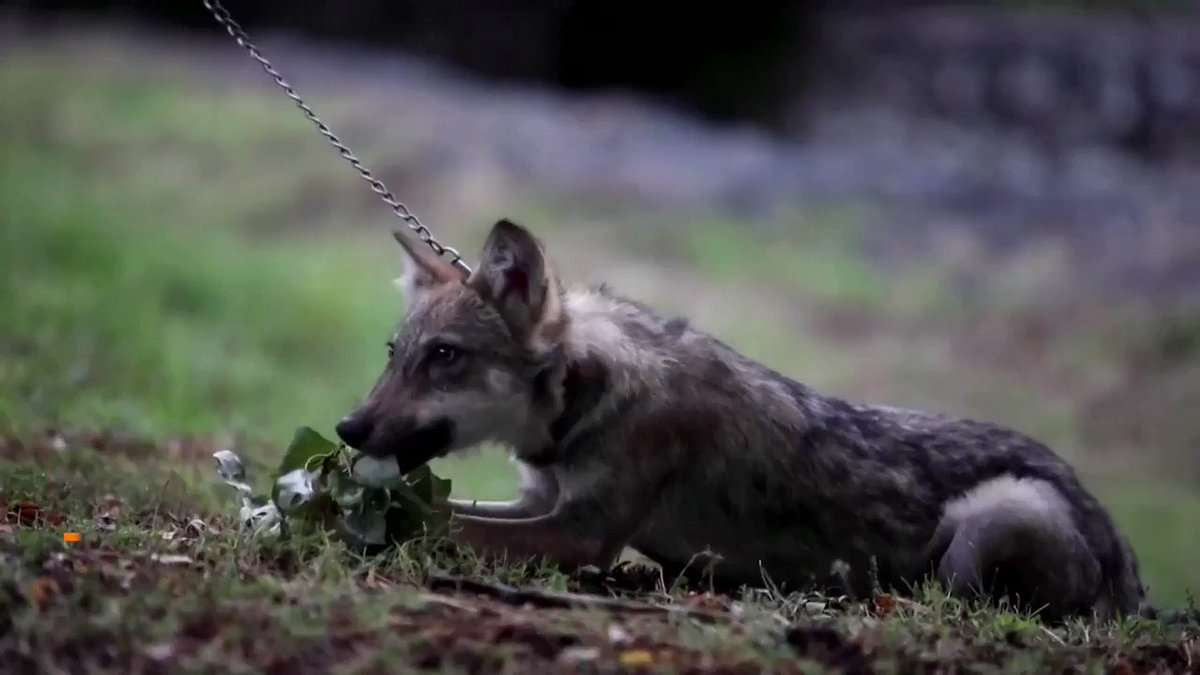 Aria, a four-month-old wolf cub, is living in Skopje Zoo after being rescued by hikers https://t.co/0DiOTjJrM8