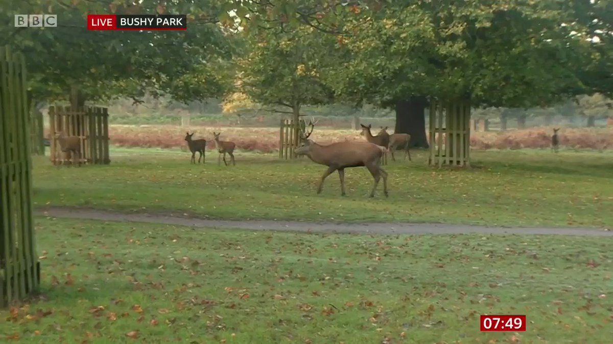 🦌 What a treat! @carolkirkwood is live at Bushy Park on #BBCBreakfast as we're in rutting season.